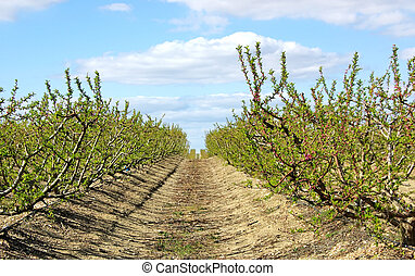 Peach trees orchard at Portugal