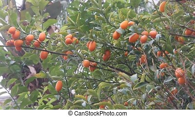 Small exotic orange Kinkan, Kumquat - Small exotic orange...