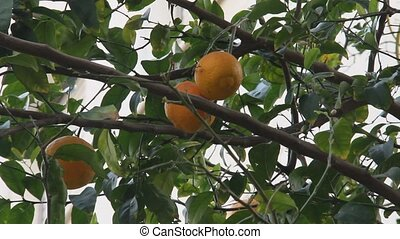 Orange fruit tree in the city - Orange fruit tree in the...