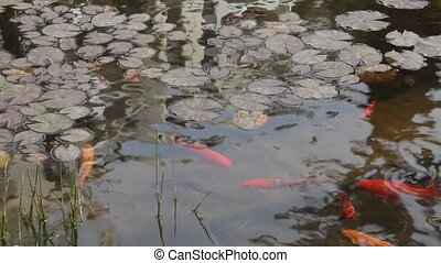 Goldfish and pond with water plants