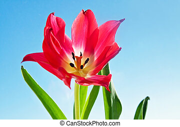 Beautiful red tulip flower with green leaves