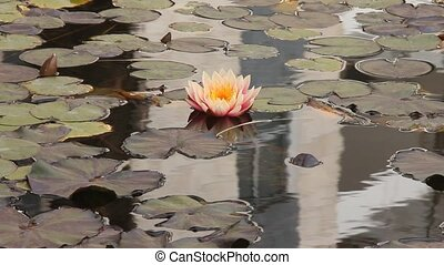 Pond with lotuses lilies - Pond with water plants lotuses,...