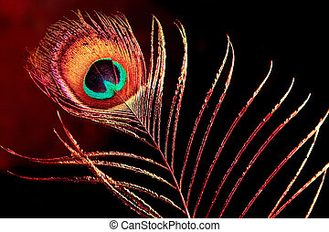 peacock plume - single peacock plume on black background