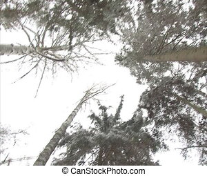 walk imitation forest - walking conifer forests in winter...
