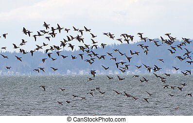 Brant - Flock Of Brants at coast of Delta BC, March 17, 2012