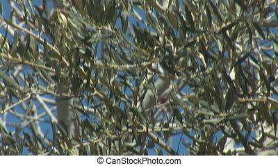 olive 2 - olive tree