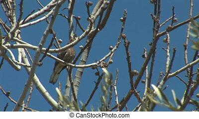 turtledove 5 - turtledove with olive tree