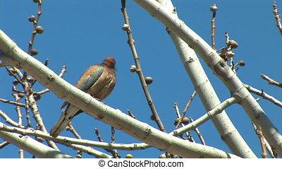 turtledove 4 - turtledove with olive tree