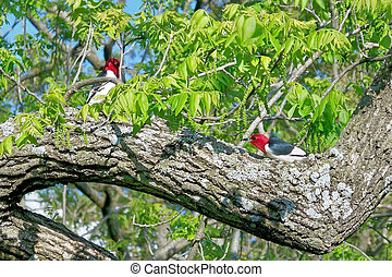 Two Redheaded Woodpeckers - The Redhead Woodpecker on the...