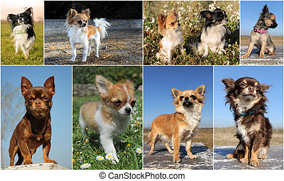 chihuahuas - composite picture with cute purebred puppy and...