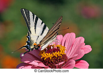 butterfly Scarce Swallowtail with opened wings on flower...