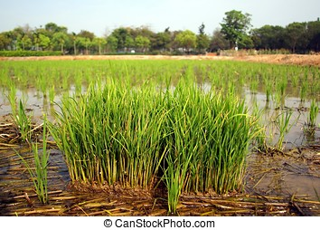 View of a Rice Paddy Field