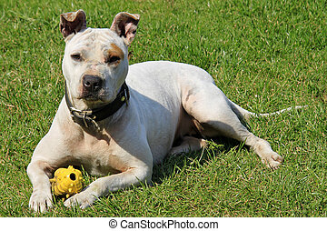 White pitbull on green grass