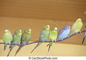Seven Parakeets on Limb - Green, Yellow and Blue Parakeets...