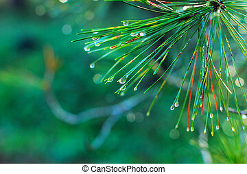 rain drops on green pine needles