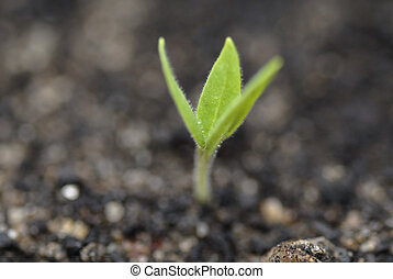 Germinating Aubergine Shoot in Soil. - Germinating aubergine...