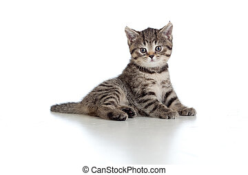 little kitten pure breed striped british isolated