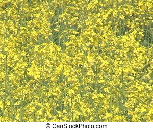 closeup flower oilseed - closeup of flowering yellow field...