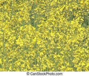 closeup flower oilseed
