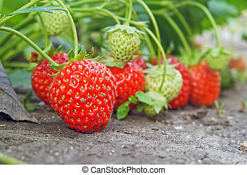 strawberry - ripe and unripe strawberry on seedbed in garden