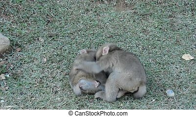 Young monkeys playing - Three young japanese macaques,...