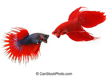 animal, aquarium, beauty, betta, blue, colorful, elegance,...
