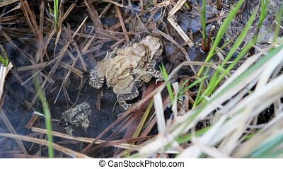 Two toads  mating