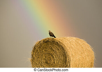 Swainson Hawks on Hay Bale after storm Saskatchewan Rainbow...