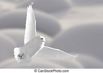 Snowy Owl in Flight winter in Saskatchewan Canada