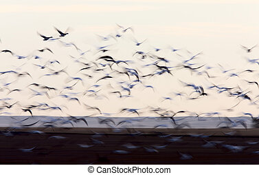 Blurred Image Snow Geese panned - Blurred Image Snow Geese...