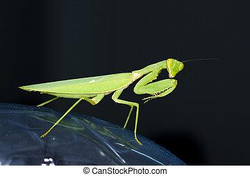 Praying mantis with black