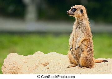 debout,  suricate, ou,  Meerkat