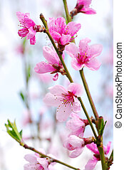 pink blossoms - Branch with pink blossoms isolated on white...