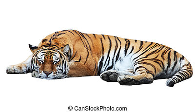 Tiger isolated lies - Big isolated tiger sleep