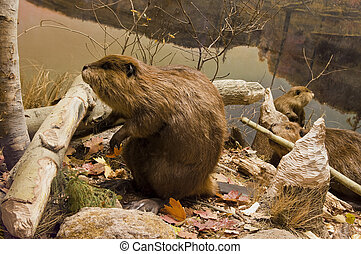 Beavers Working - Three beavers working with logs on the...