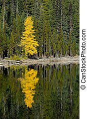 Stand Out - Lone yellow tree in fall surrounded by pines.