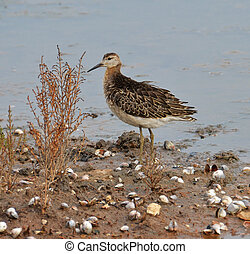 portrait of sandpiper in the marsh