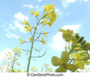 rape seed yellow plant - closeup of blossoming rape seed...