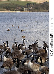 Flock of Canada Geese and Common Gull - Large number of...