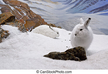 Arctic Hares - Two arctic hares resting in the mountainous...
