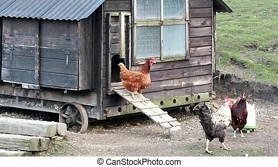 chickens and hen coop
