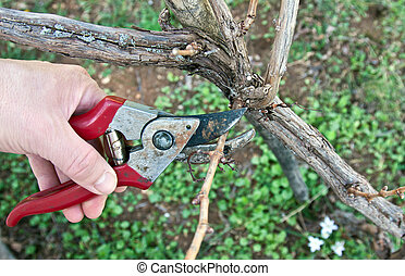 pruning in a vineyard with red shears in spring
