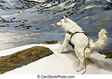 Arctic Wolf - An arctic wolf in the northern canadian...