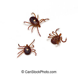 Ticks - Lone Star Tick (Amblyomma americanum) on a white...