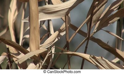 Dry bamboo in the wind
