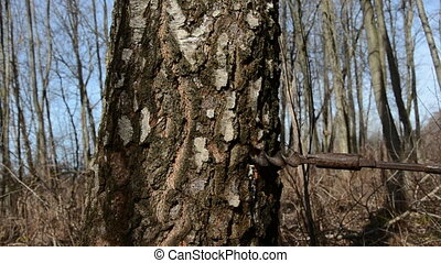 birch trunk with wooden tap for sap
