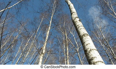 birches on sky and camera rotate - spring birches on blue...
