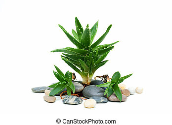 Aloe vera and stones - Spa set with aloe vera and stones.