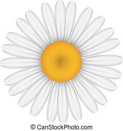 Vector illustration of chamomile