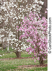 Magnolia Trees - Early spring magnolias in pink and white